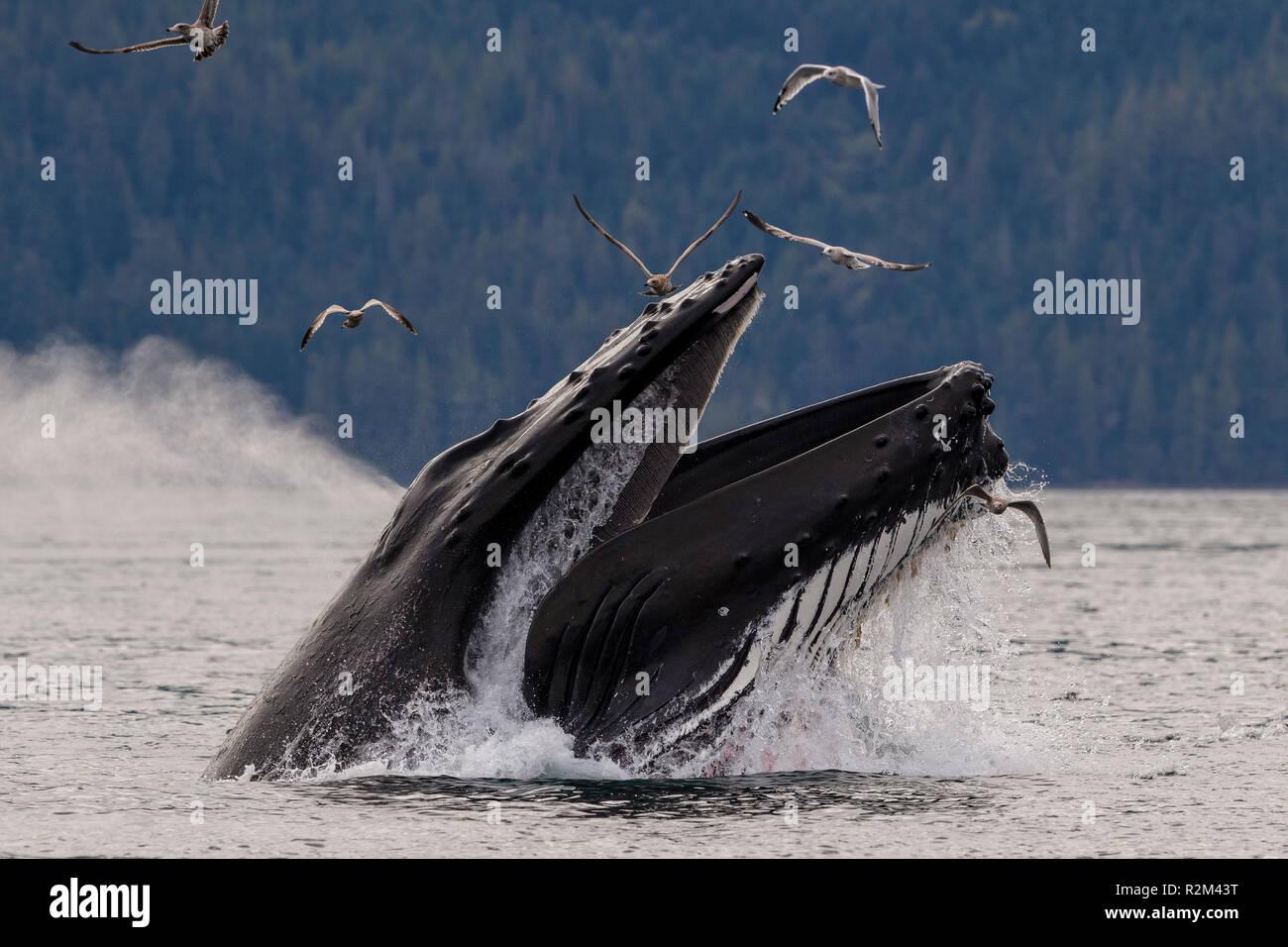 La ballena jorobada (Megaptera novaeangliae) lunge feeding en Blackfish sonido de Hanson isla cerca del archipiélago Broughton, Territorio de las Primeras Naciones, el BRI Foto de stock