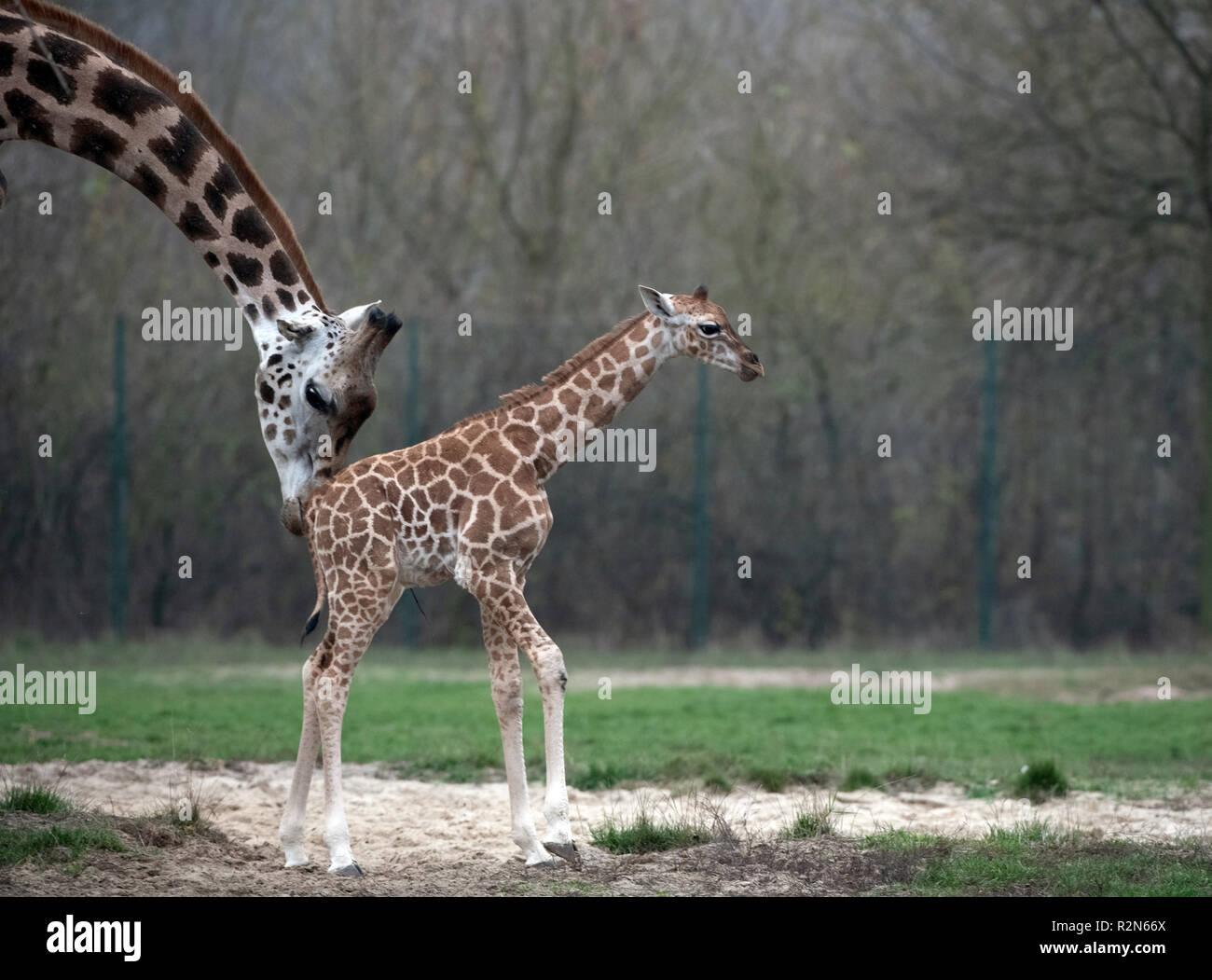 Berlín, Alemania. 20 Nov, 2018. Giraffe descendencia Ella explora el recinto al aire libre en el Tierpark Berlín con el rebaño por primera vez. Señora jirafa Amalka (5) dio nacimiento a la joven animal el 3 de noviembre de 2018. El nombre de la joven animal también fue anunciado en la conferencia de prensa. Crédito: Paul Zinken/dpa/Alamy Live News Imagen De Stock