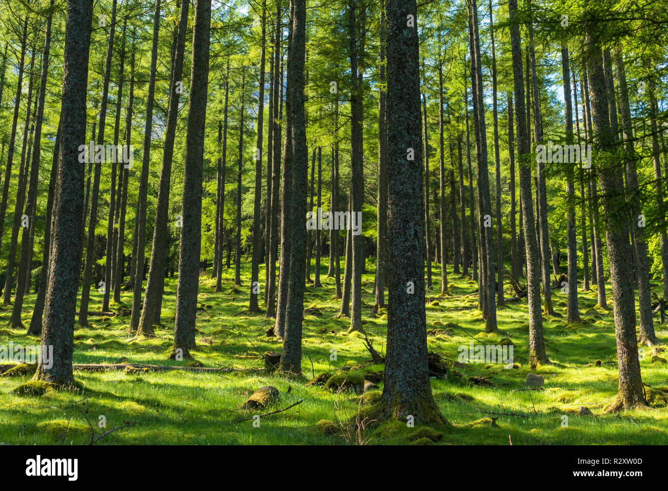 Lake District UK Buttermere solar a través de árboles de pino de madera Burtness Buttermere Lake District National Park Cumbria Inglaterra GB Europa Imagen De Stock