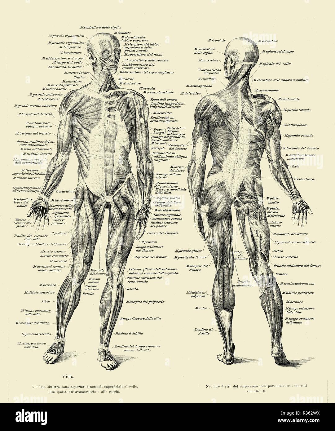 Ilustración vintage de la anatomía humana completa estructura muscular por delante y por detrás, con descripciones anatómicas italiano Imagen De Stock