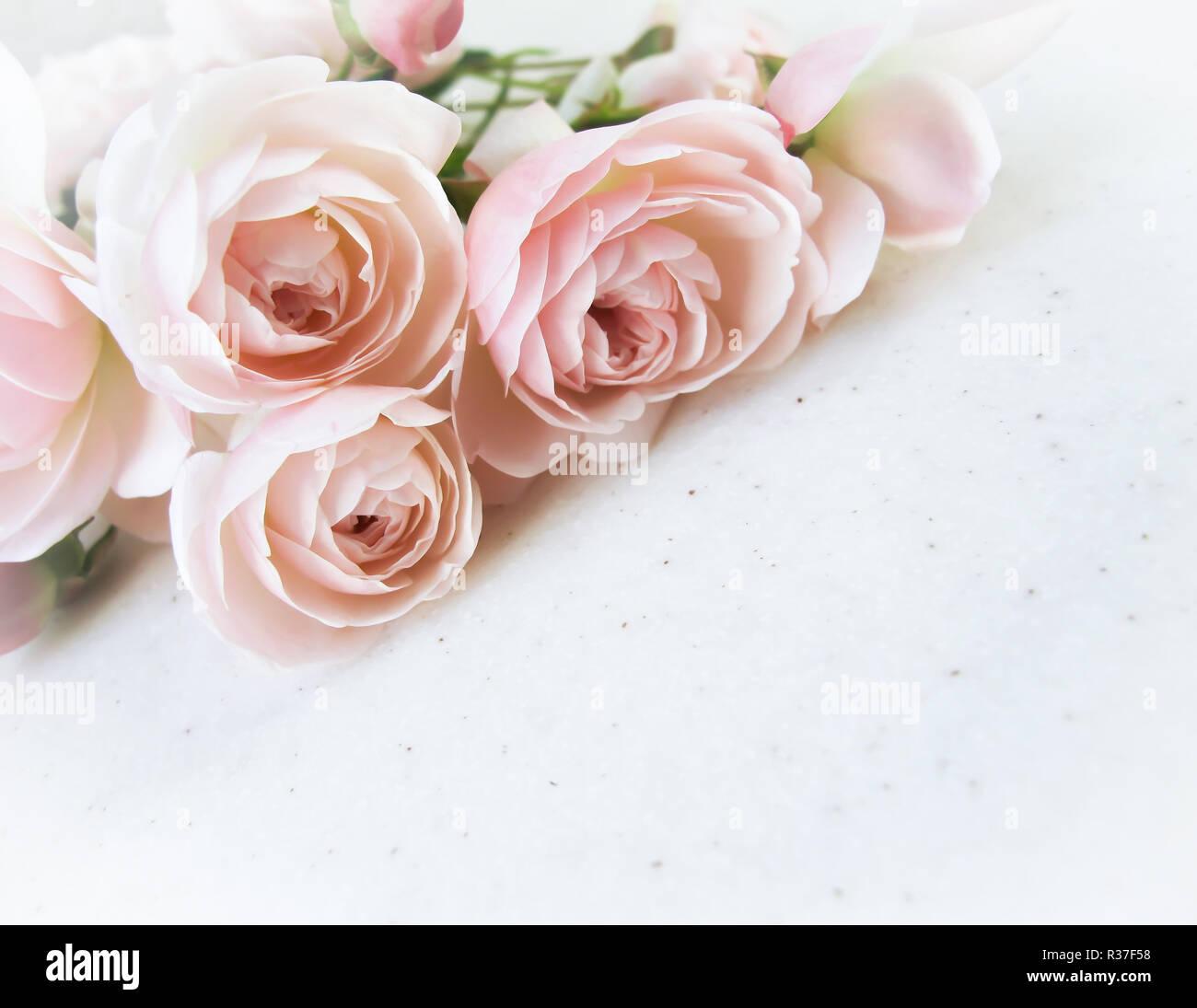 Rosas Rosas Aislado Sobre Fondo Blanco Perfecto Para