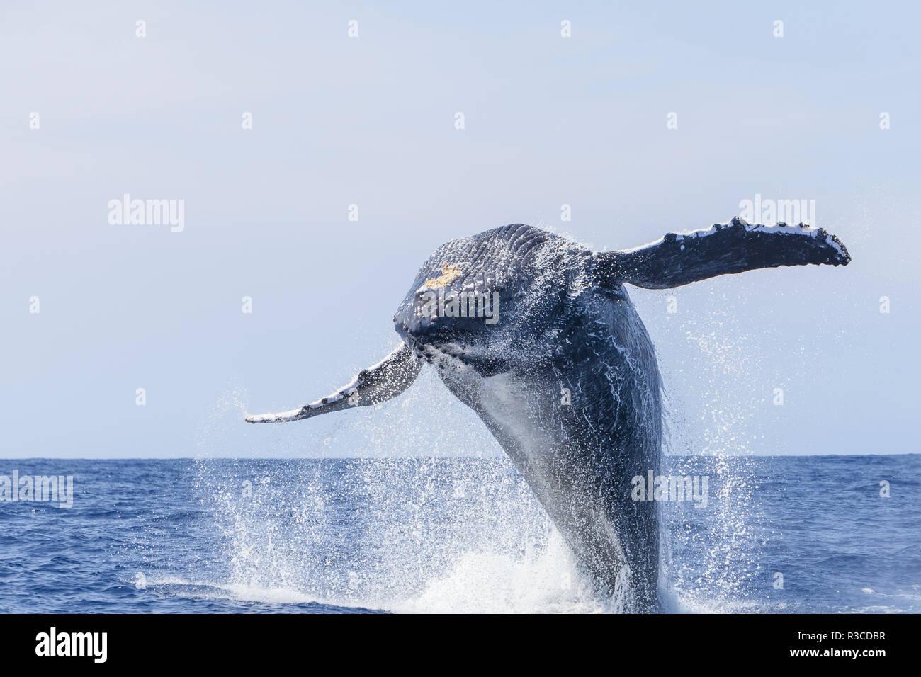 Las ballenas jorobadas (Megaptera novaeangliae), cerca de Kona, Big Island, Hawai Foto de stock