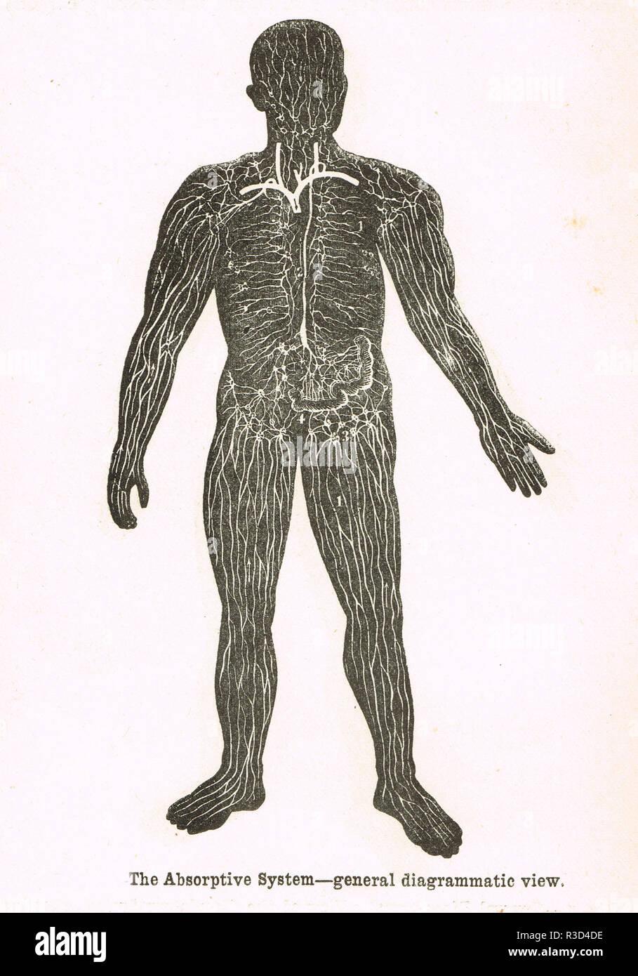 Sistema de absorción, el cuerpo humano. Un diagrama del siglo XIX. Imagen De Stock