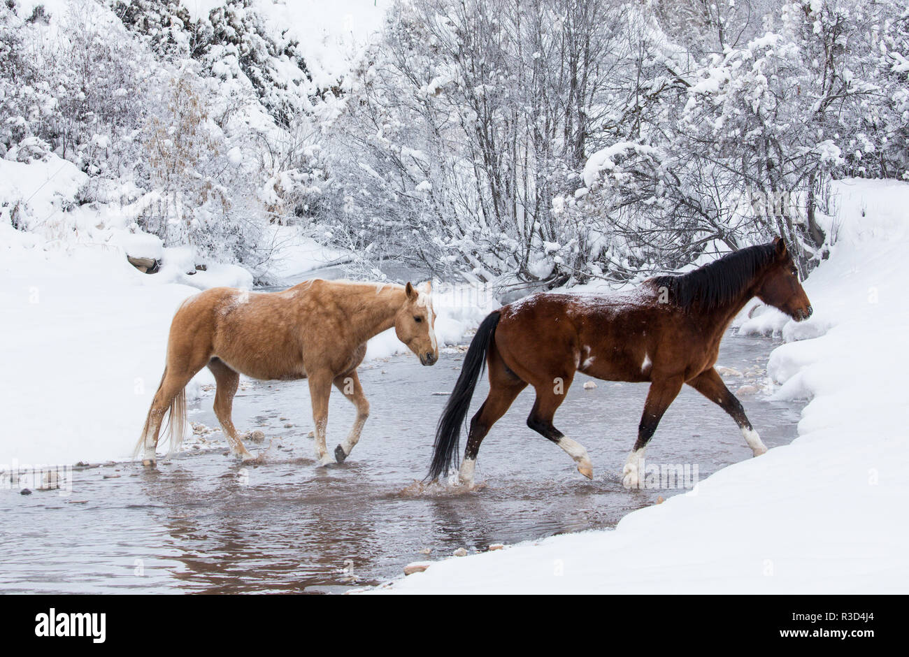 Invierno, escondite Ranch, Wyoming. Los caballos cruzando Shell Creek (PR) Imagen De Stock