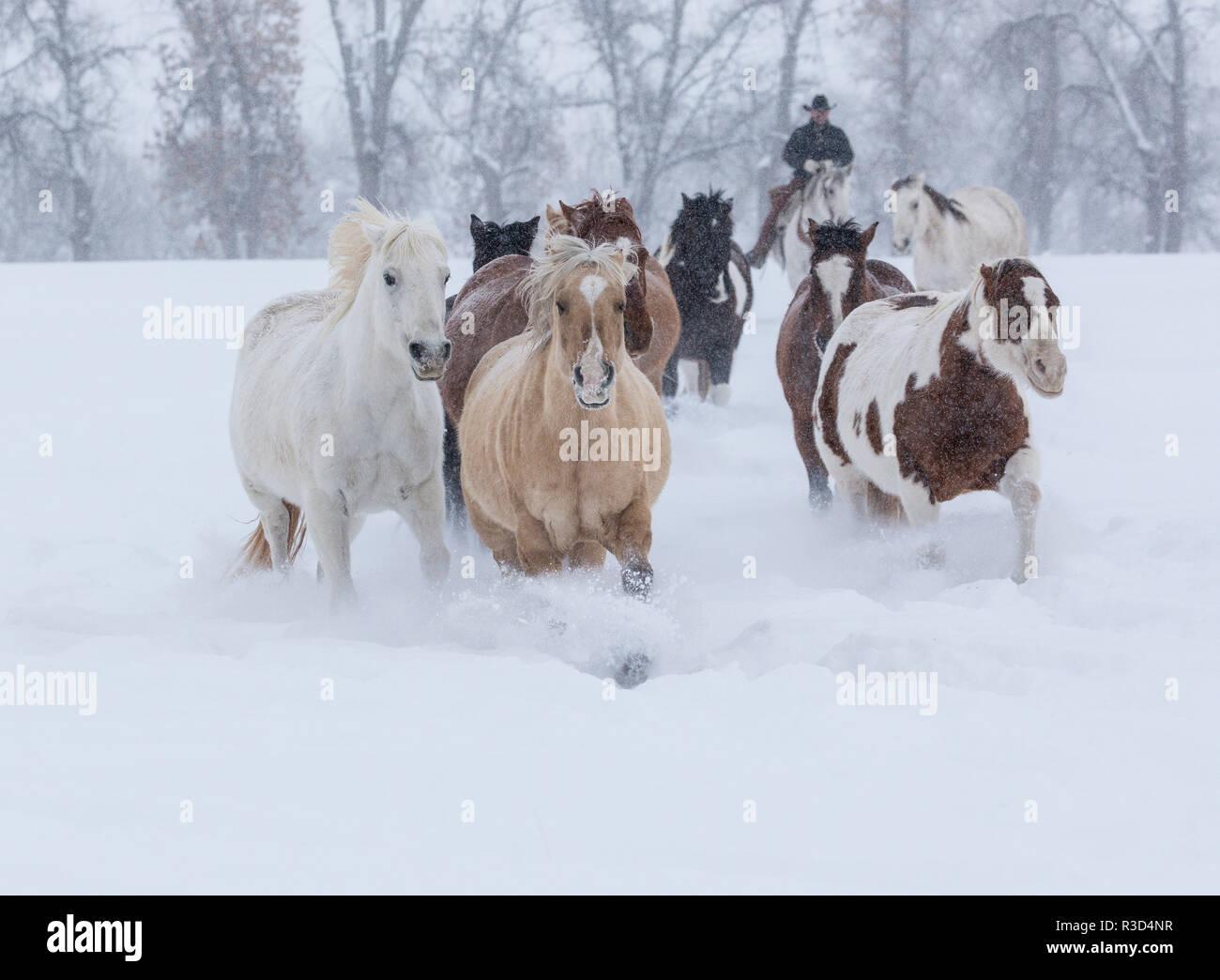 Caballos corriendo a través de la nieve, el escondite Ranch, Shell, Wyoming. (MR, PR) Imagen De Stock