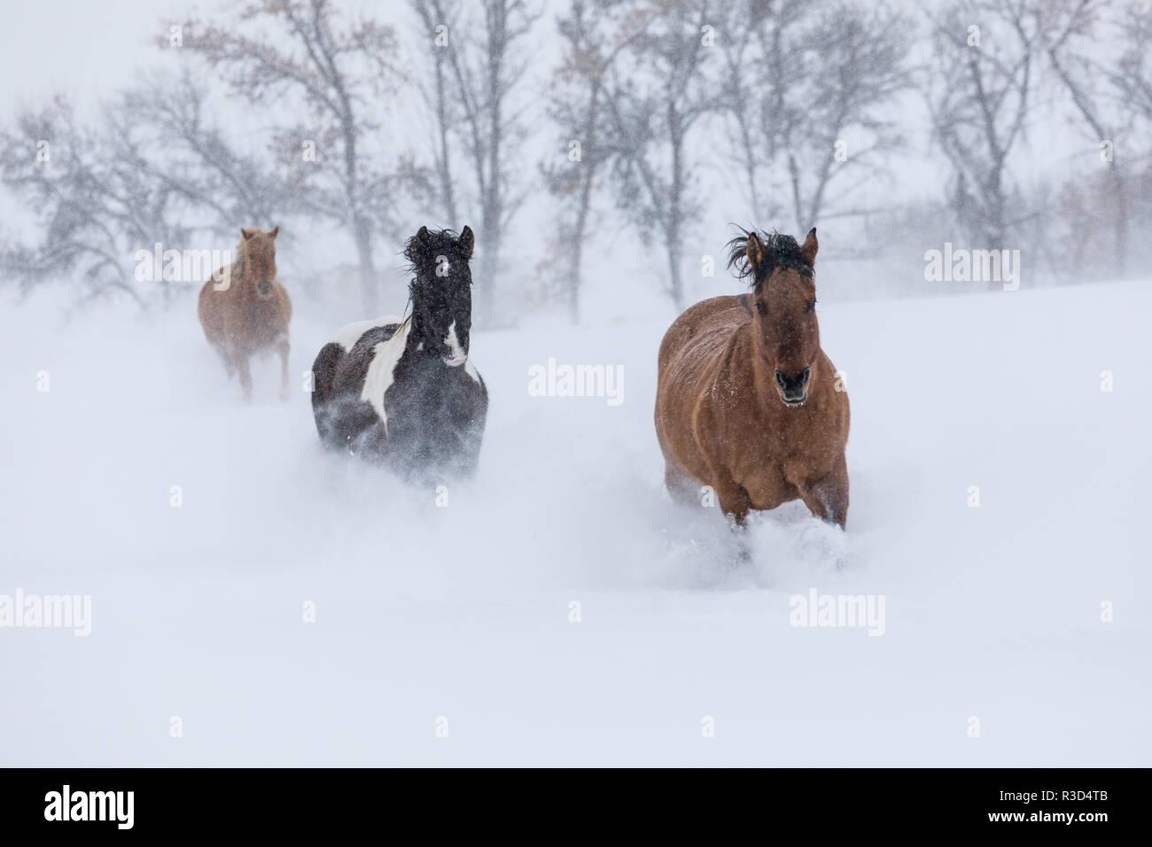 Escondite Ranch, Shell, Wyoming. Caballo corriendo a través de la nieve. (PR) Imagen De Stock