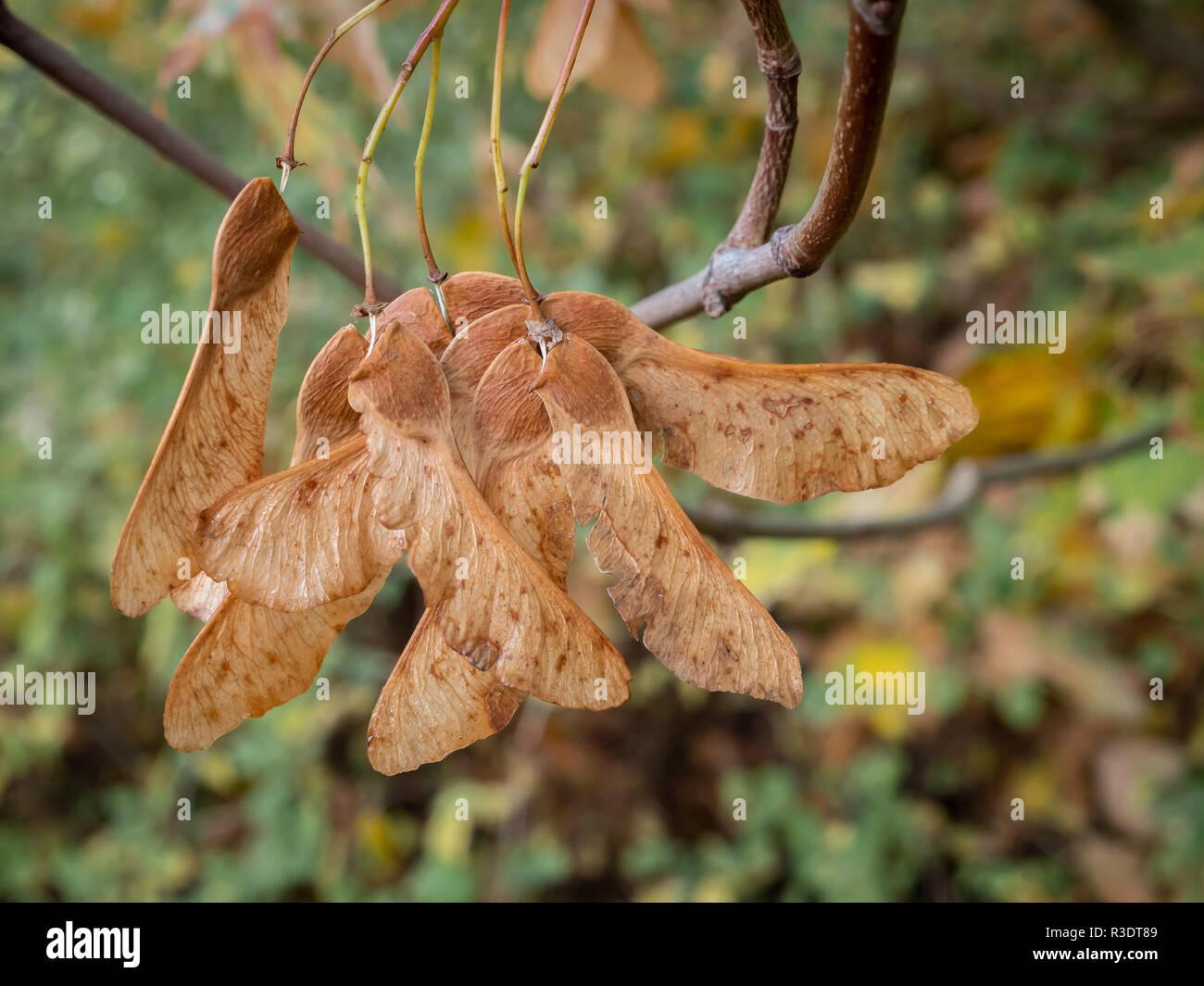 Tuerca alada fruto de la montaña arce - Acer pseudoplatanus - árbol de arce Foto de stock