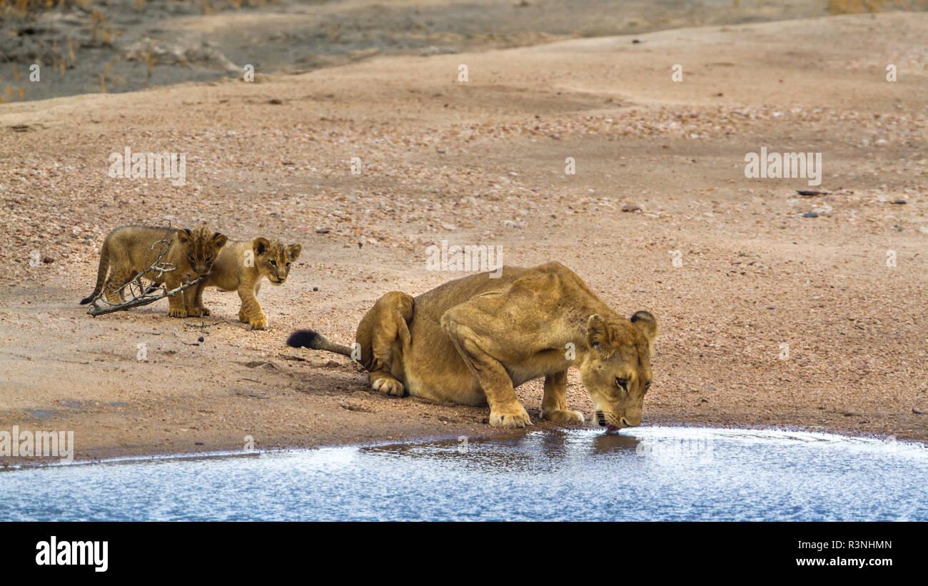 León Africano (Panthera leo) en el Parque Nacional Kruger, Sudáfrica. Foto de stock