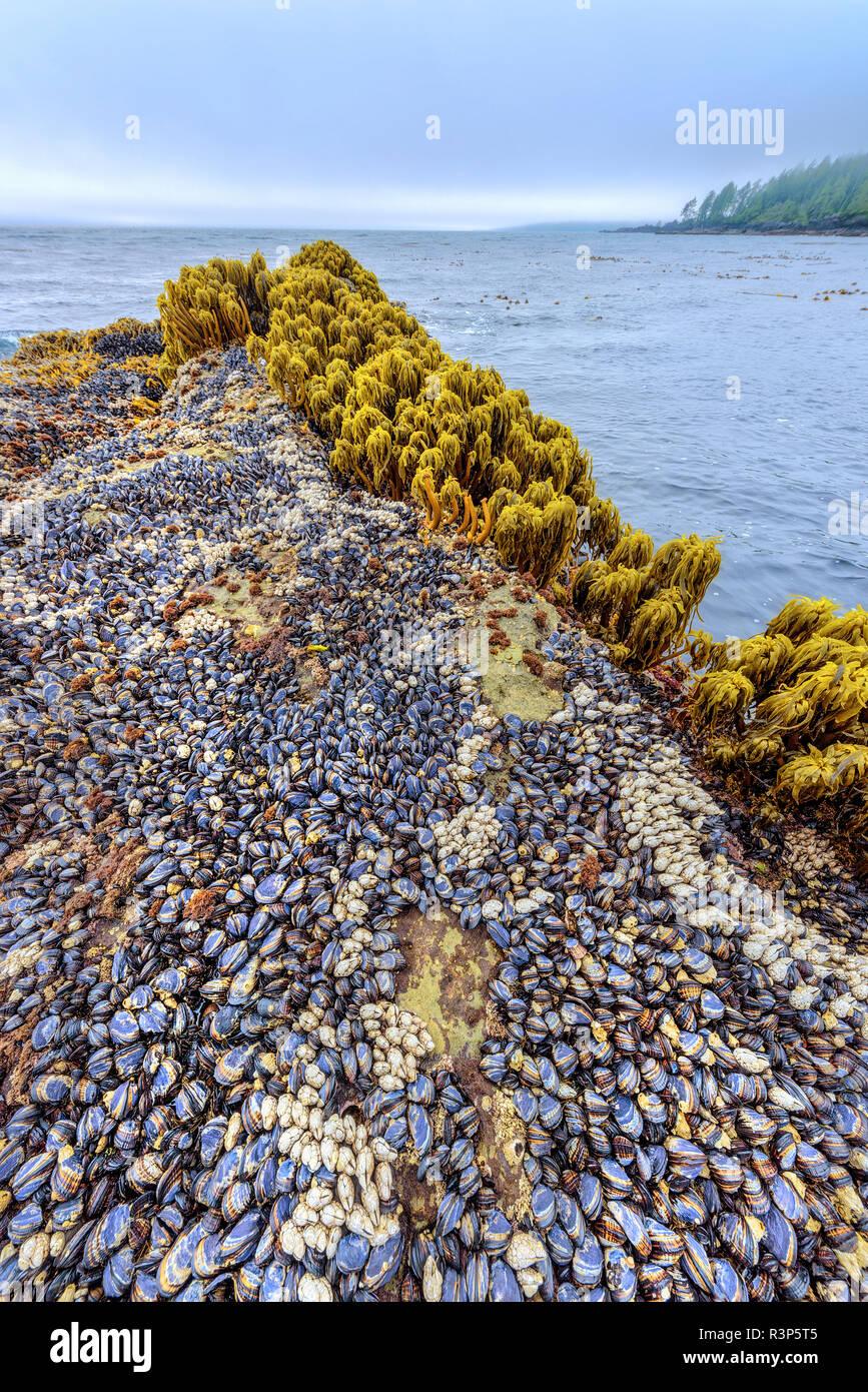 Palm Mar (Postelsia palmaeformis), mejillones y anatifes al borde del Océano Pacífico. Playa botánico Provincial Park, Port Renfrew, Isla de Vancouver, British Columbia, Canadá Foto de stock