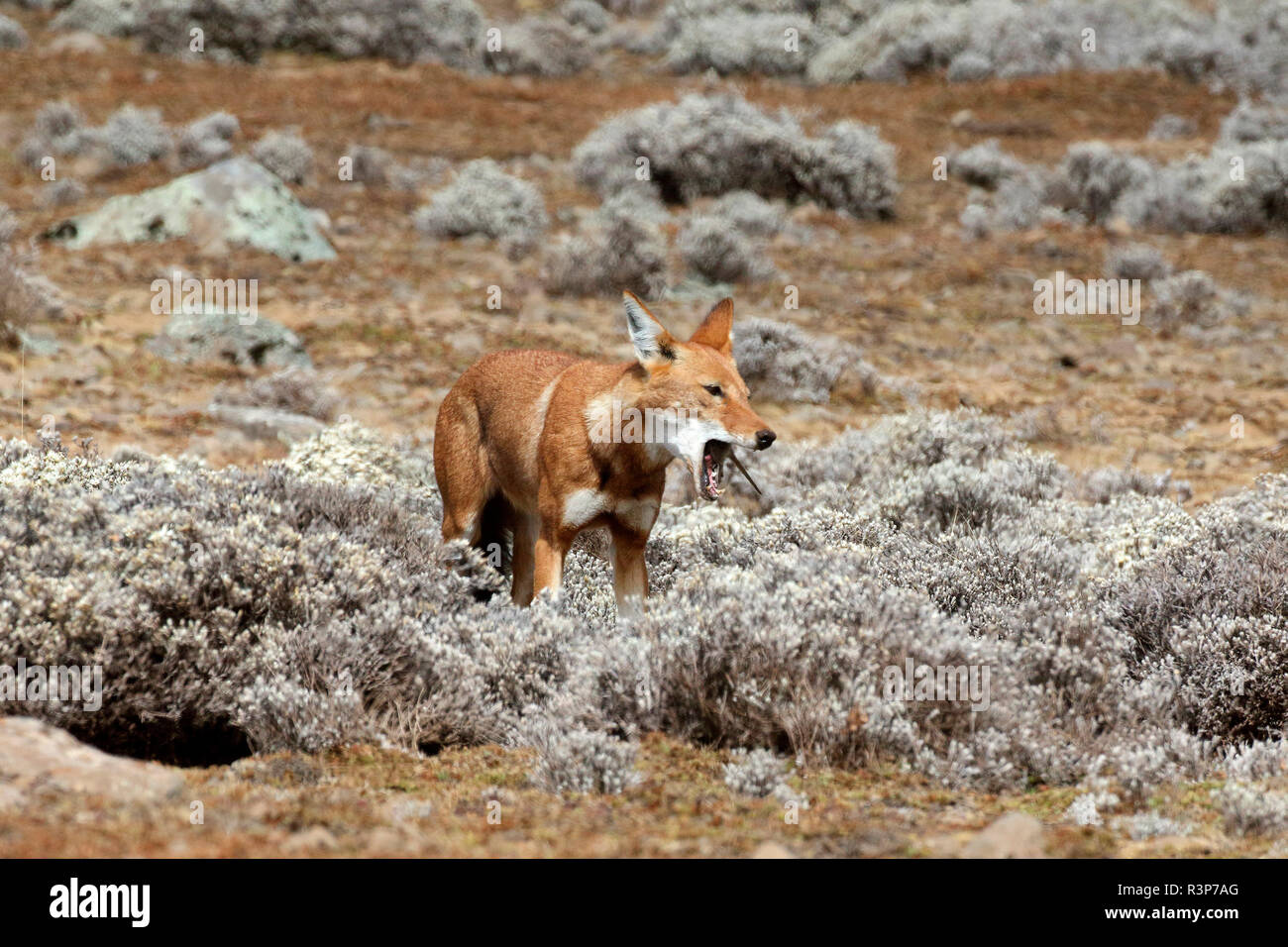 Simian chacal (Canis simensis) comiendo una rata topo entre el Cabo de Oro, las montañas Bale, Etiopía Foto de stock