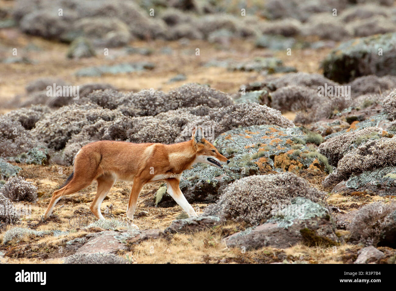 Simian chacal (Canis simensis) caminando entre el Cabo de Oro, las montañas Bale, Etiopía Foto de stock