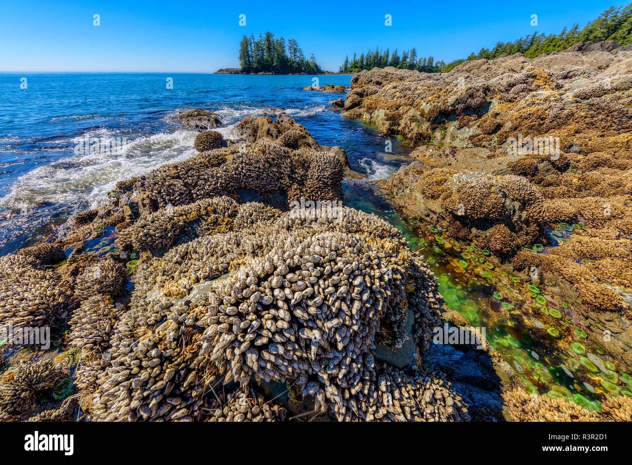 Rocas en marea baja, cubiertas con mejillones y anatifes., Pacific Rim, Tofino, al sur de la isla de Vancouver, British Columbia, Canadá Foto de stock