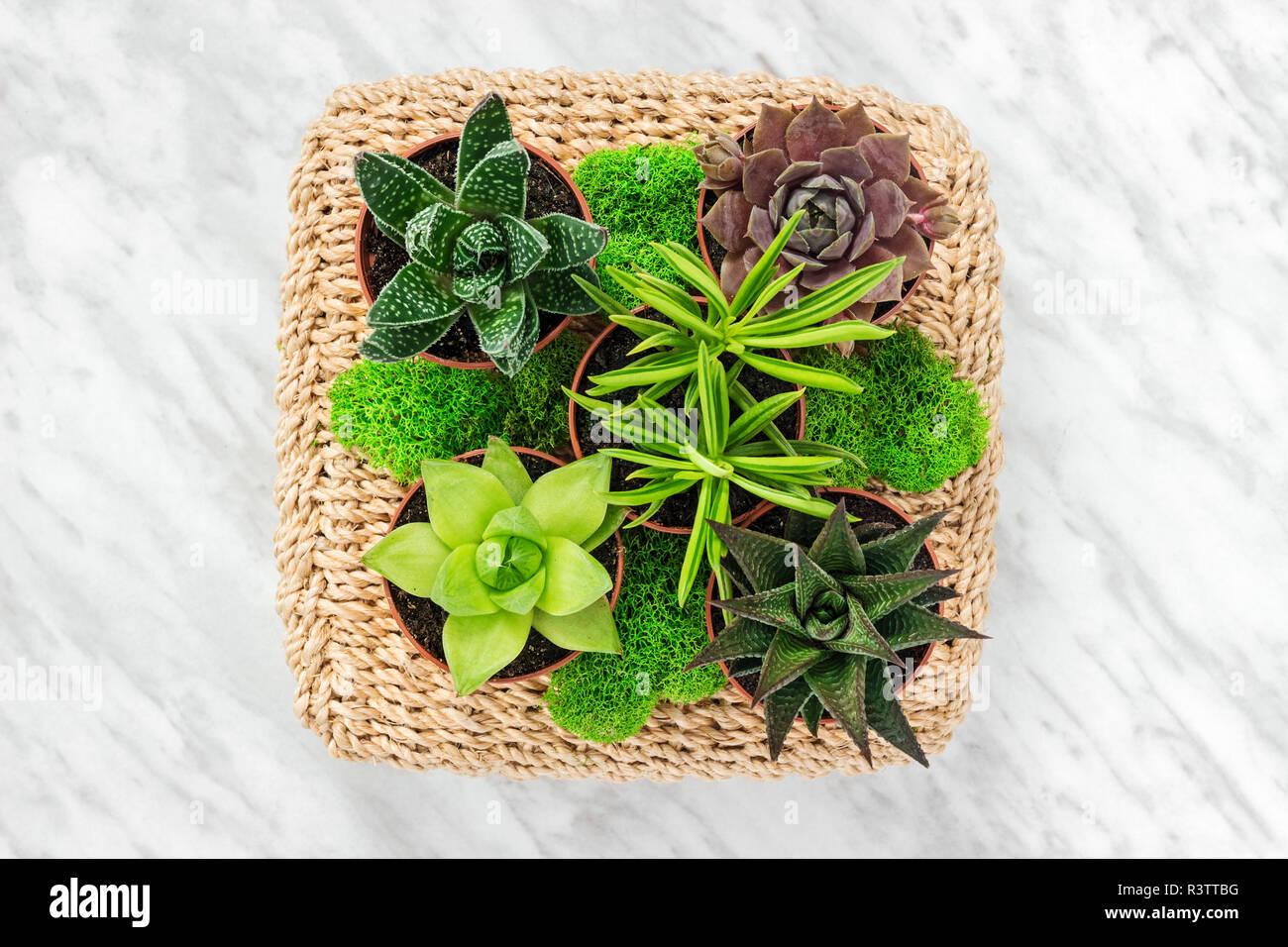 Arreglos florales con plantas suculentas y musgo verde, sobre fondo de mármol. Foto de stock