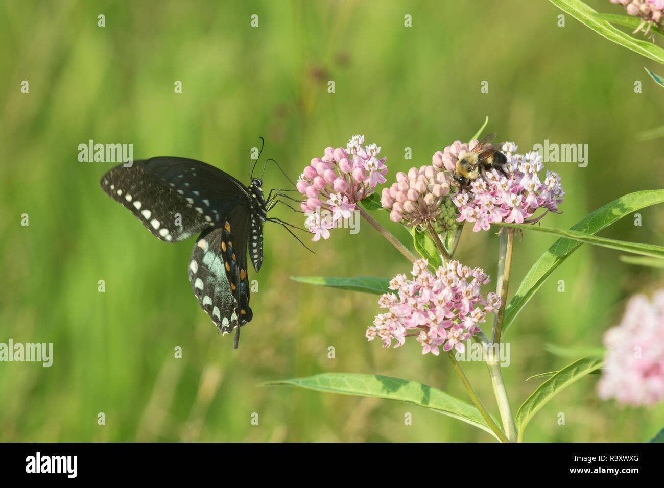 Spicebush especie (Papilio Troilo) en el Pantano (Asclepias Asclepias incarnata) El Condado de Marion, Illinois Foto de stock