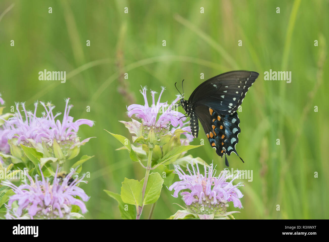 Spicebush especie (Papilio Troilo) en Wild (bergamota Monarda fistulosa) El Condado de Marion, Illinois Foto de stock