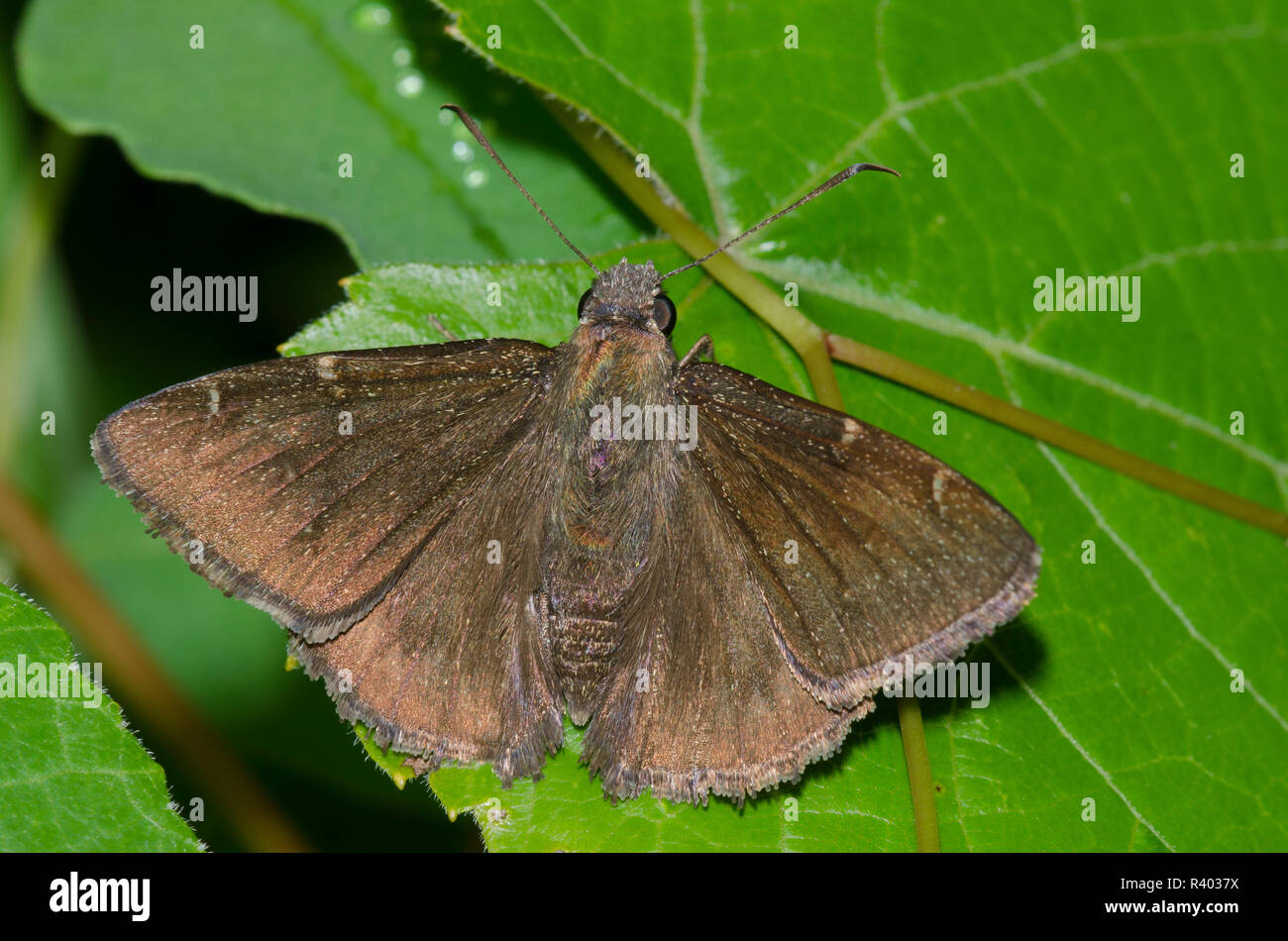 Norte, Thorybes pylades Cloudywing, macho Foto de stock