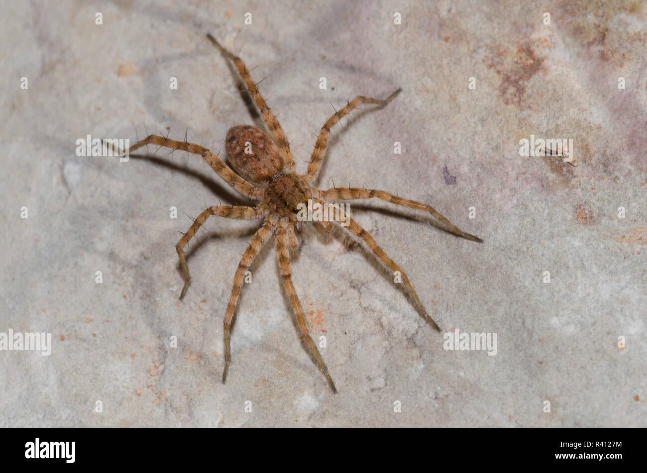 Araña Lobo Thinlegged, Pardosa sp. Foto de stock