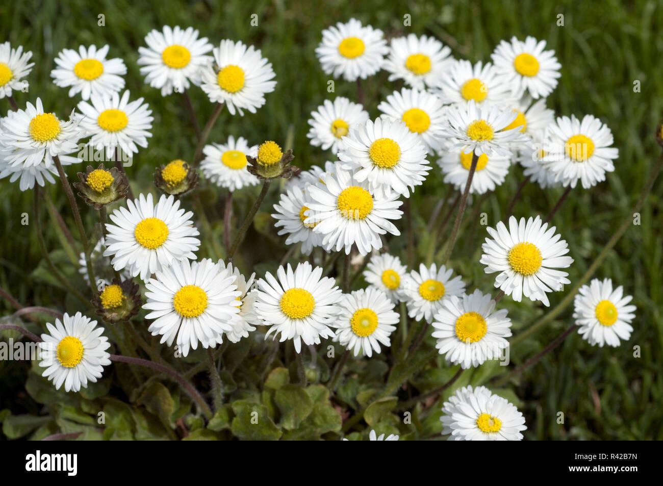 Gaensebluemchen Bellis perennis Foto de stock