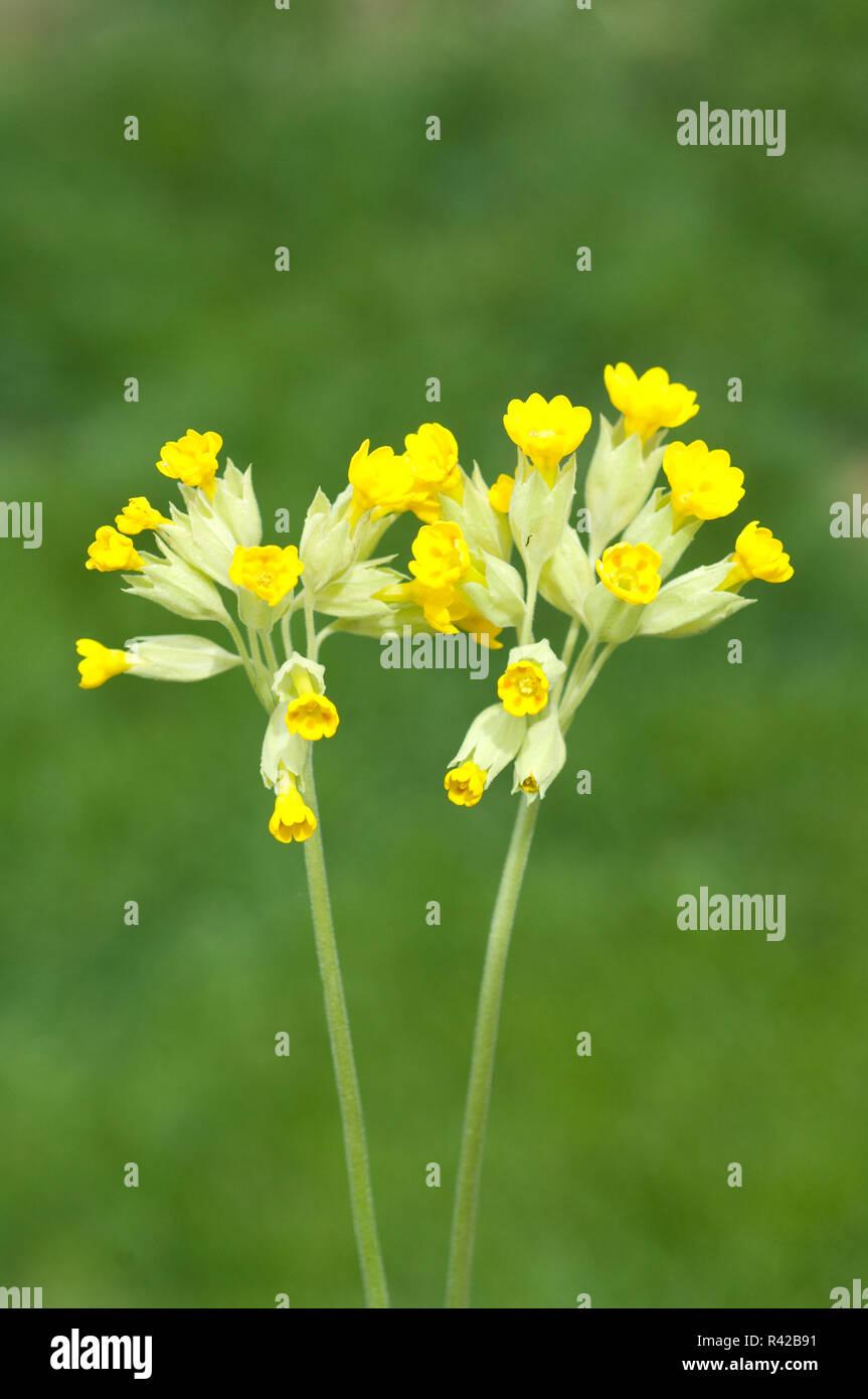 Primula veris Schluesselblume Foto de stock