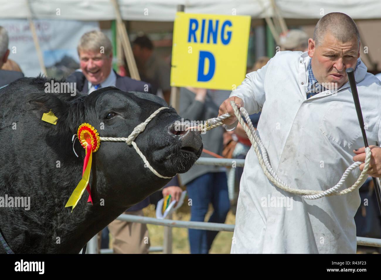 Muestra de la agricultura. Aylsham. August Bank Holiday el lunes. Blickling. En Norfolk. Aberdeen Angus, Bull, raza cárnica, ganado campeón siendo led alrededor del anillo por una stockman show. Imagen De Stock