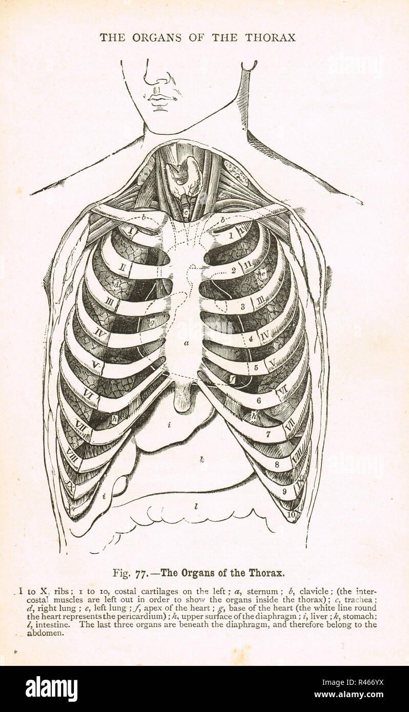 Órganos del tórax. Un diagrama del siglo XIX. Imagen De Stock