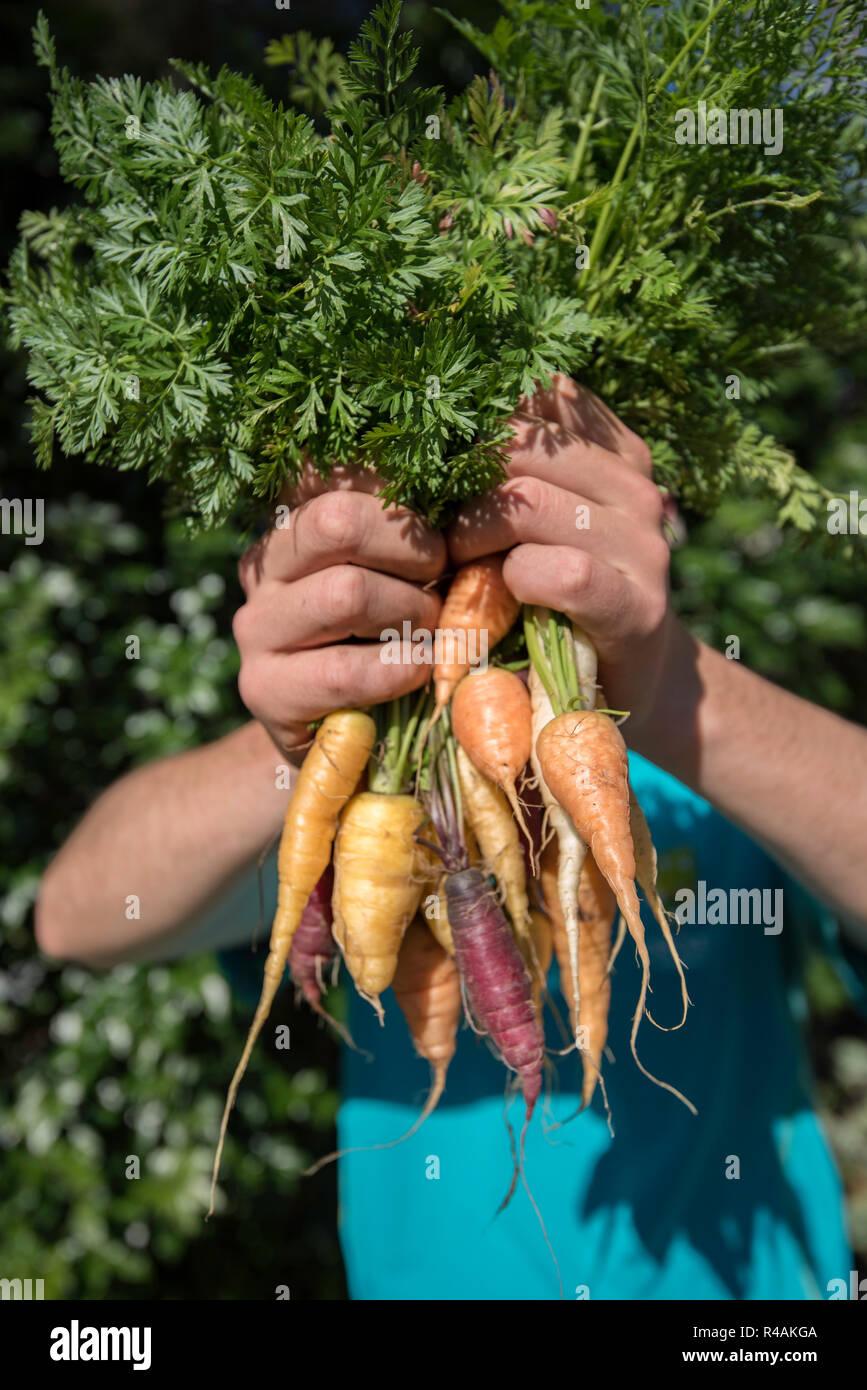 Un joven blanco australiano de 21 años mantiene casa cultiva hortalizas zanahorias en un jardín trasero Foto de stock
