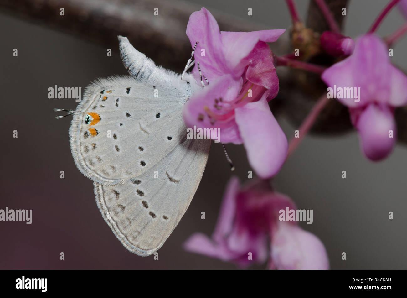 Azul cola oriental, Cupido comyntas, sobre Redbud oriental, Cercis canadensis Foto de stock