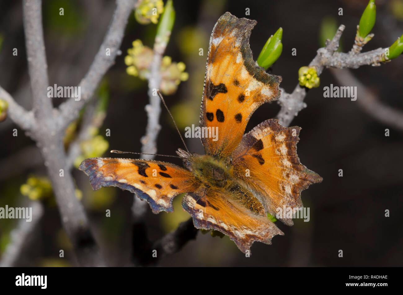 Hoary coma, Polygonia gracilis, nectaring de New Mexico Olive, Forestiera pubescens Foto de stock