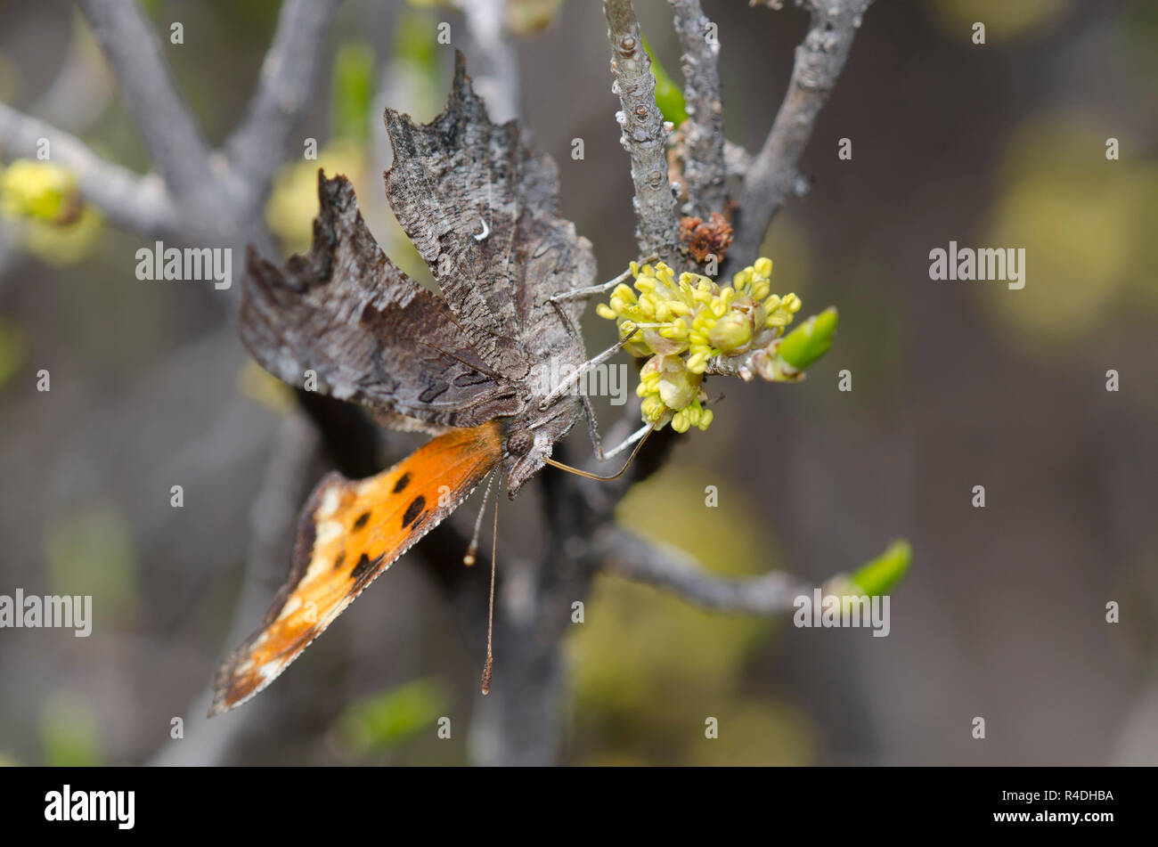 Coma canosos, Polygonia gracilis, nectaring del árbol flor Foto de stock