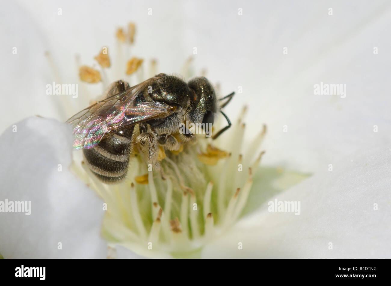 Sudor Abeja Halictus tripartitus, nectaring de Apache Plume Fallugia paradoxa Foto de stock
