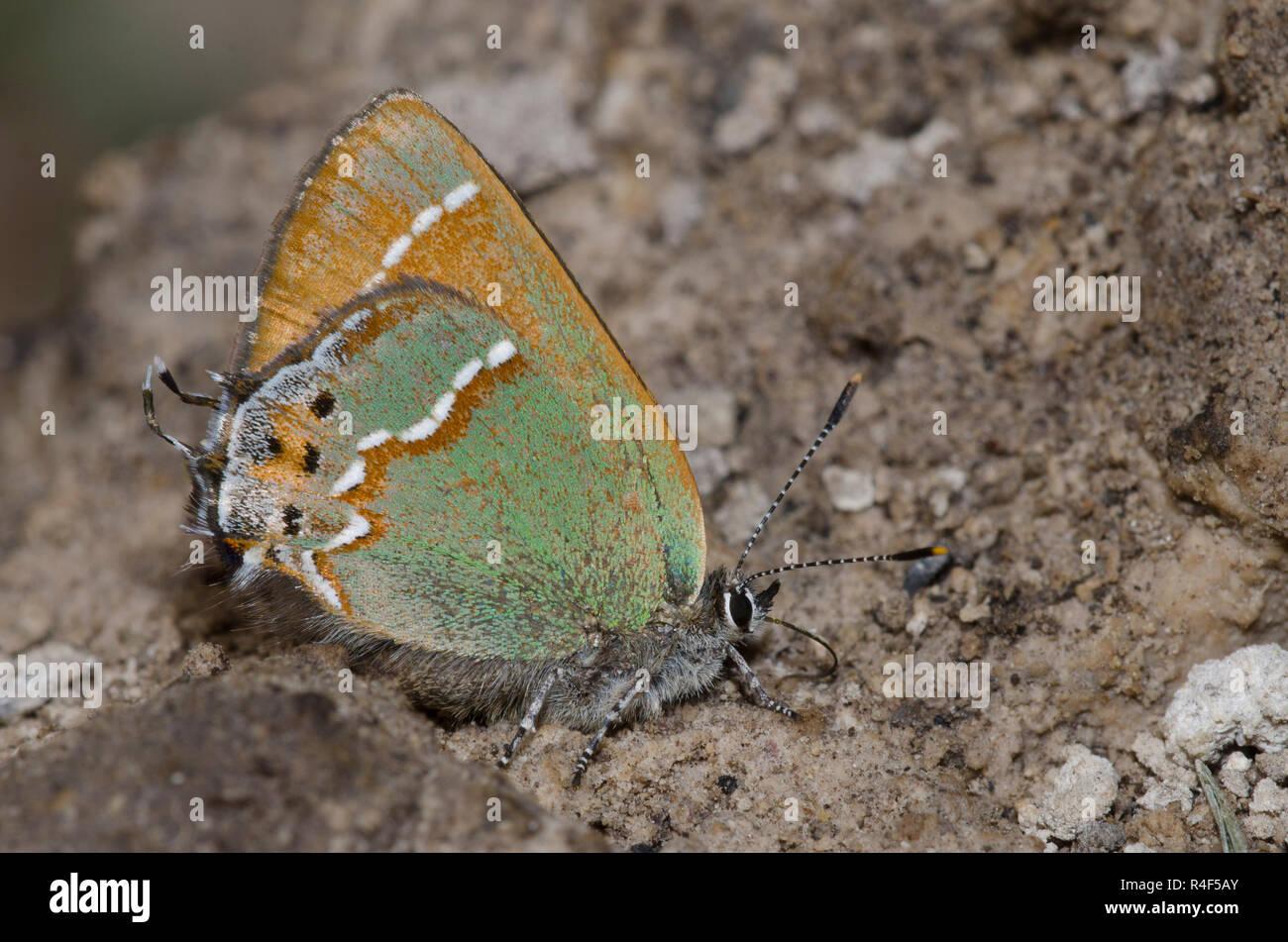 Juniper, Callophrys Hairstreak gryneus, charcos de barro Foto de stock