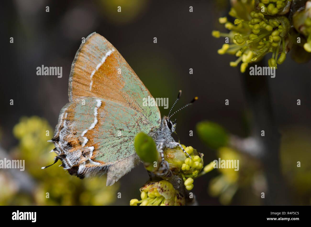 Juniper Hairstreak, Callophrys gryneus, nectaring de New Mexico Olive, Forestiera pubescens Foto de stock