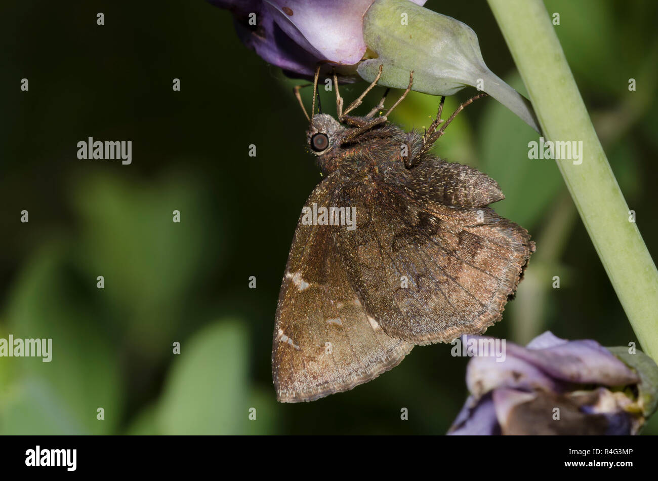 Norte, Thorybes pylades Cloudywing, hembra nectaring Foto de stock