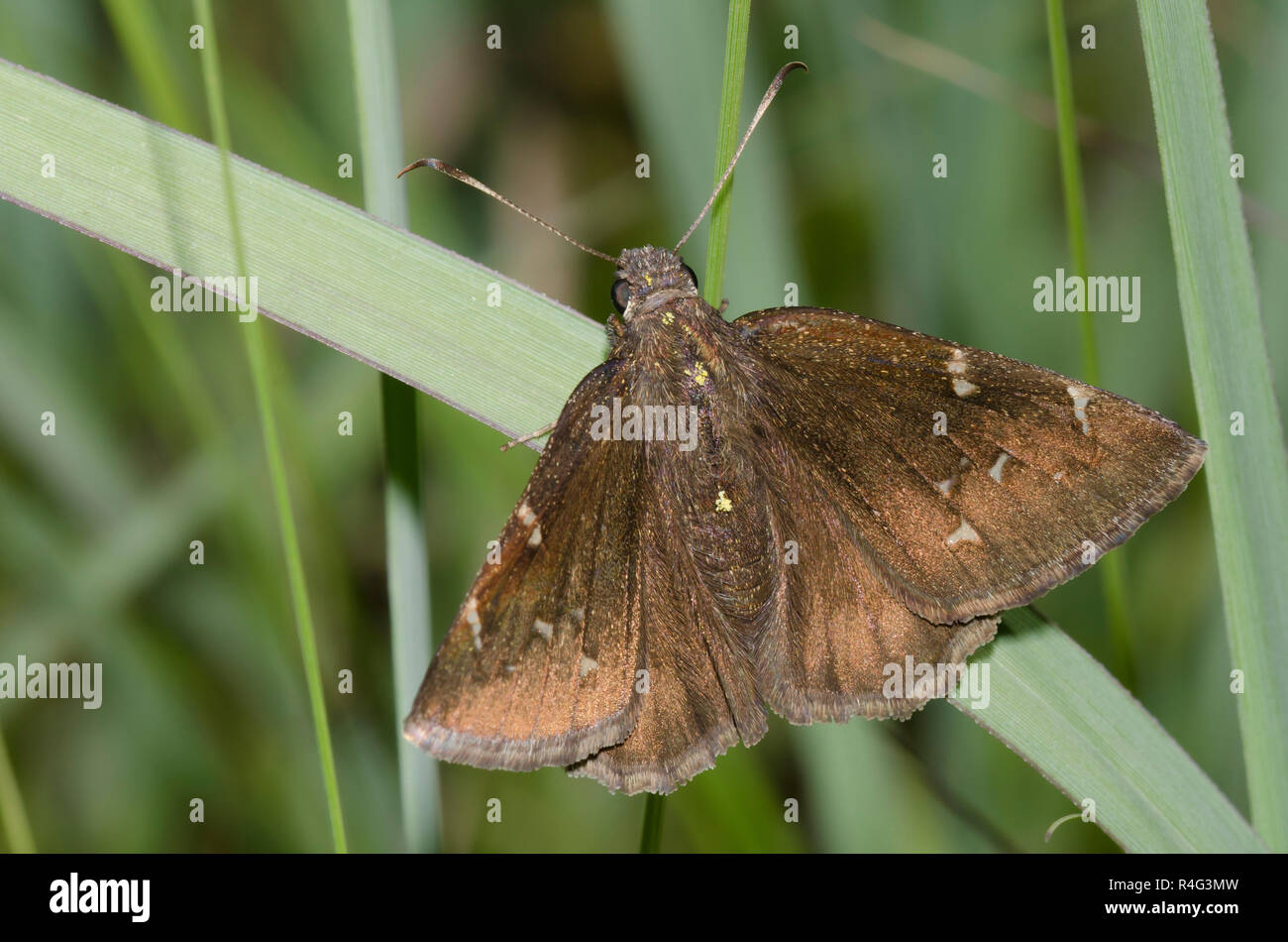 Norte, Thorybes pylades Cloudywing, hembra Foto de stock