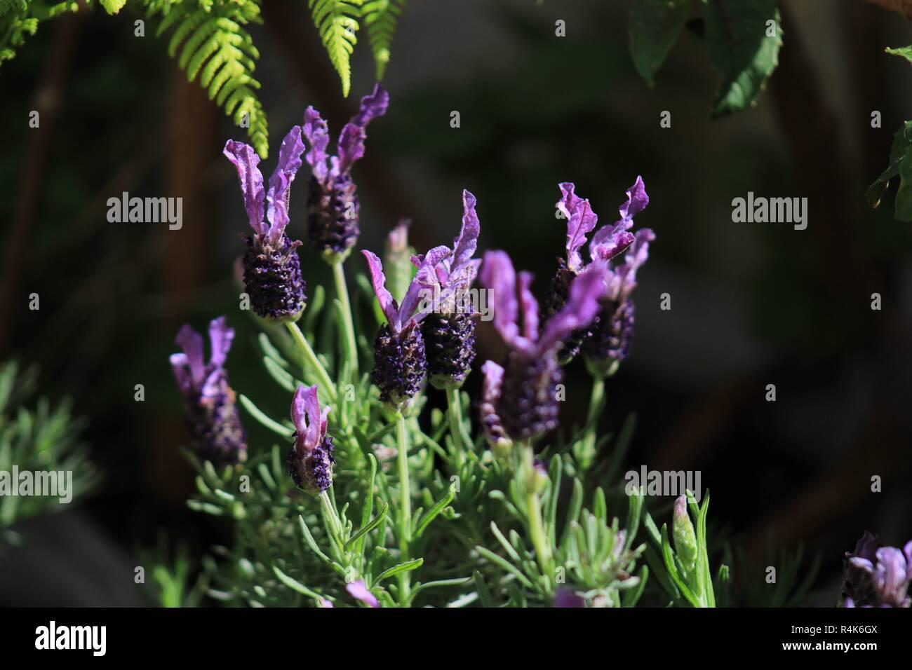 Planta lavanda Imagen De Stock