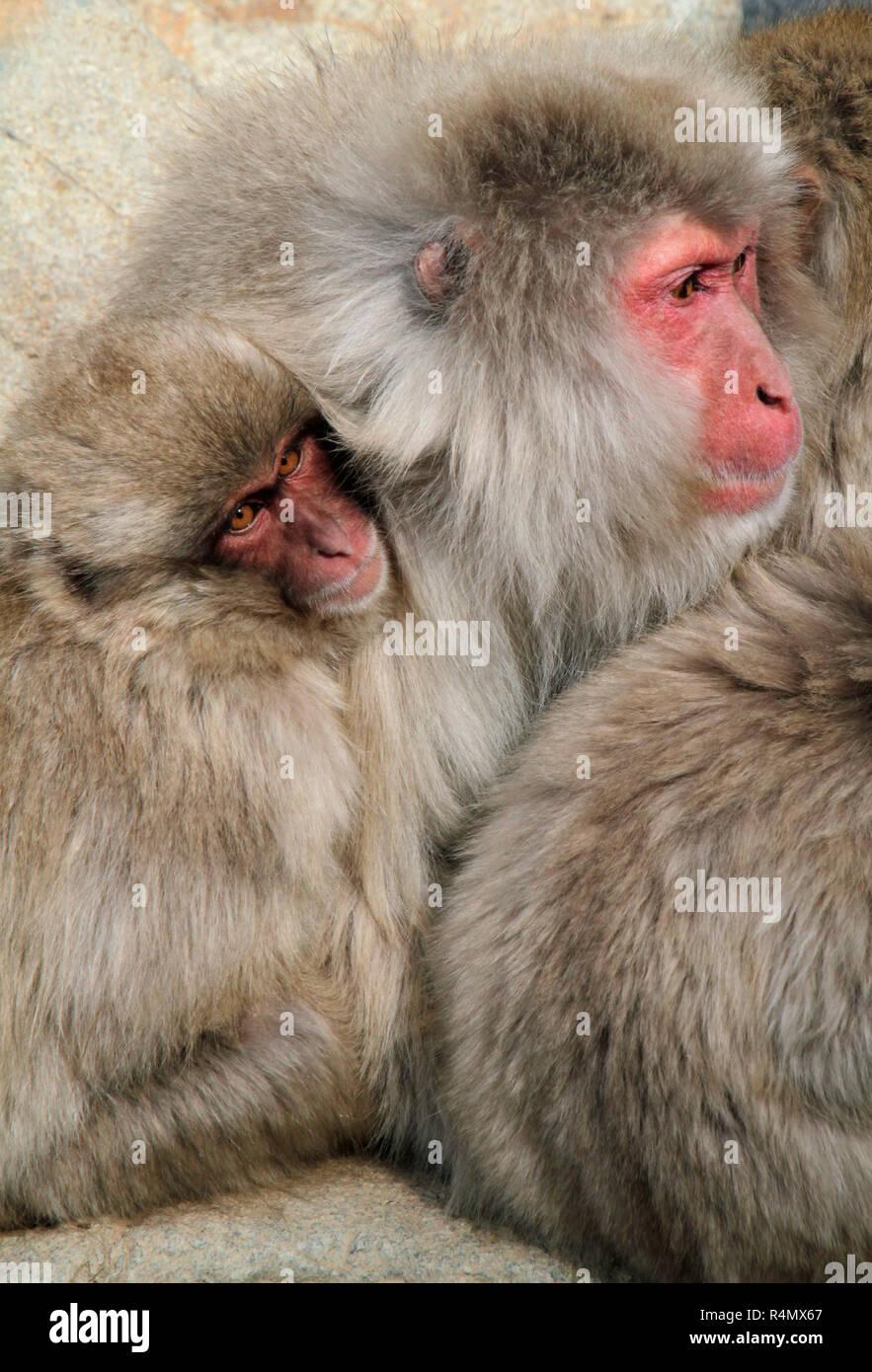 Familia De Monos De Nieve Japonés Caricias Arriba Foto Imagen De