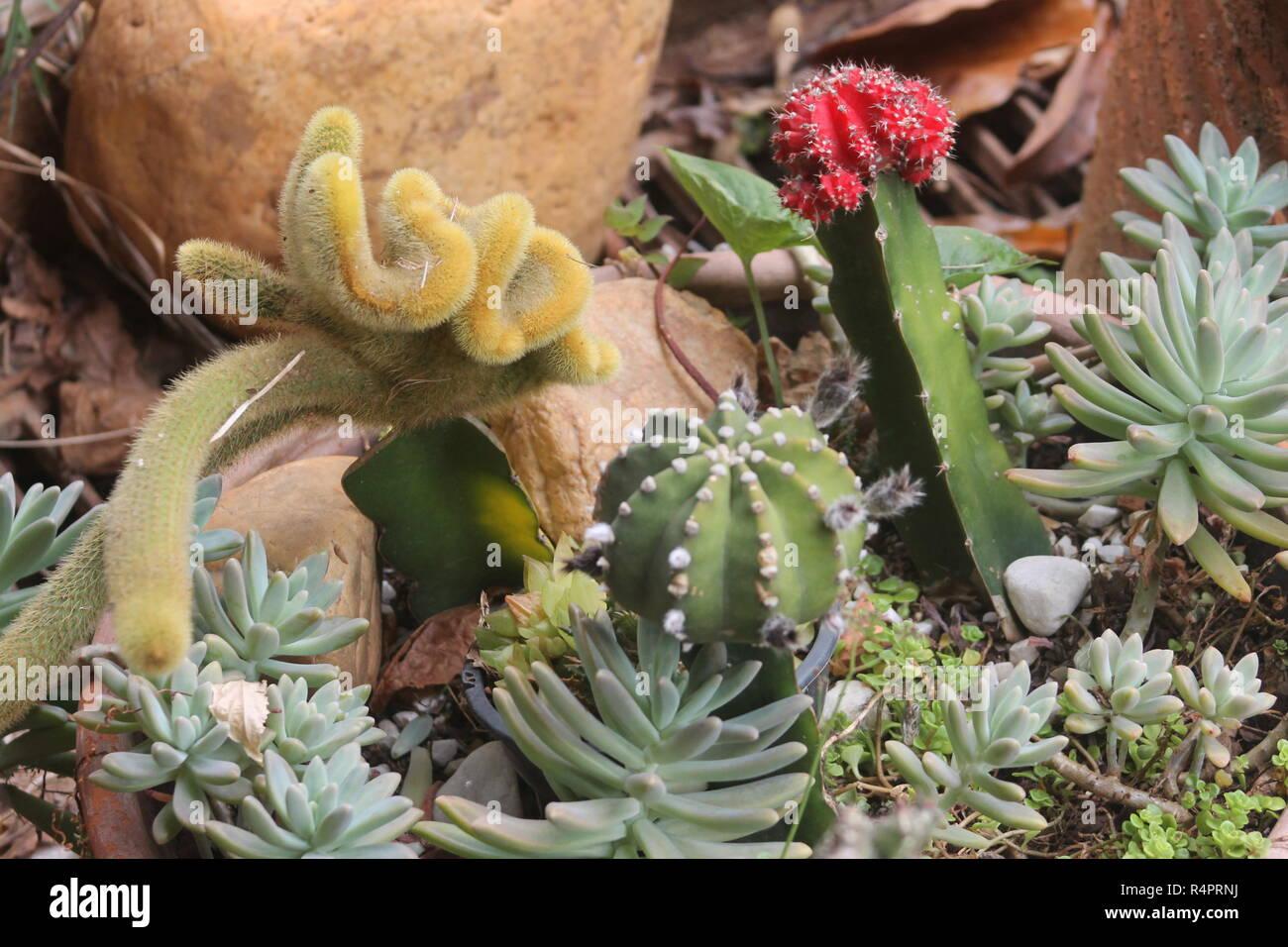 Colorido jardín de cactus con predominio de rojo, amarillo y verde Imagen De Stock