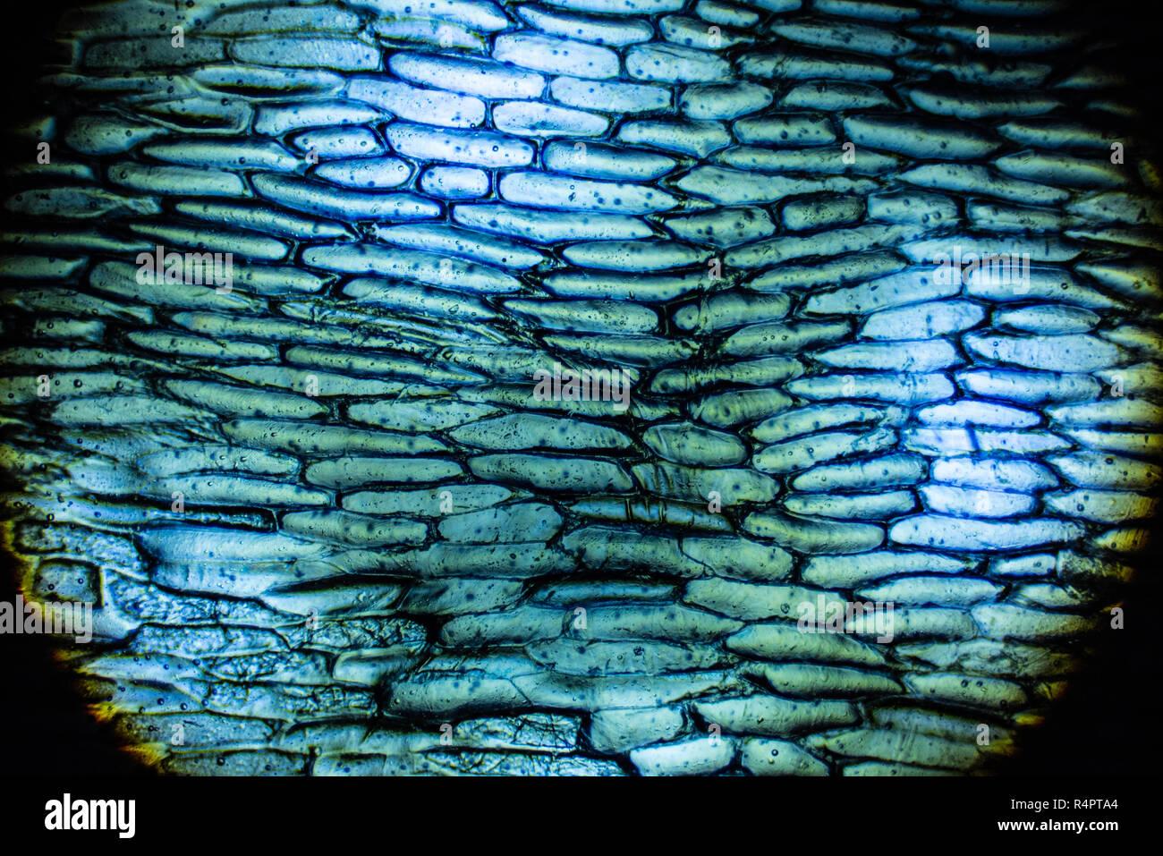 Cebolla las células bajo el microscopio. Foto de stock