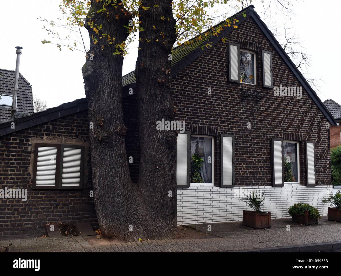 29 de noviembre de 2018, Renania del Norte - Westfalia, Düsseldorf: Un doble-trunk oak está muy cerca de la fachada de una pequeña casa de ladrillo. Foto: Horst Ossinger/dpa Foto de stock