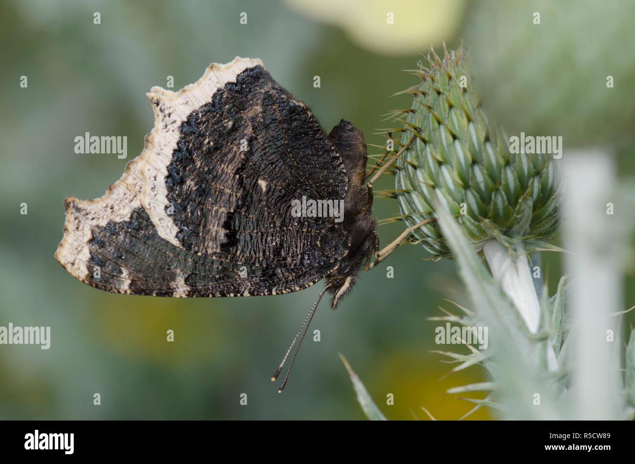 Manto, Nymphalis antiopa de luto, en el cardo, Cirsium sp. Foto de stock