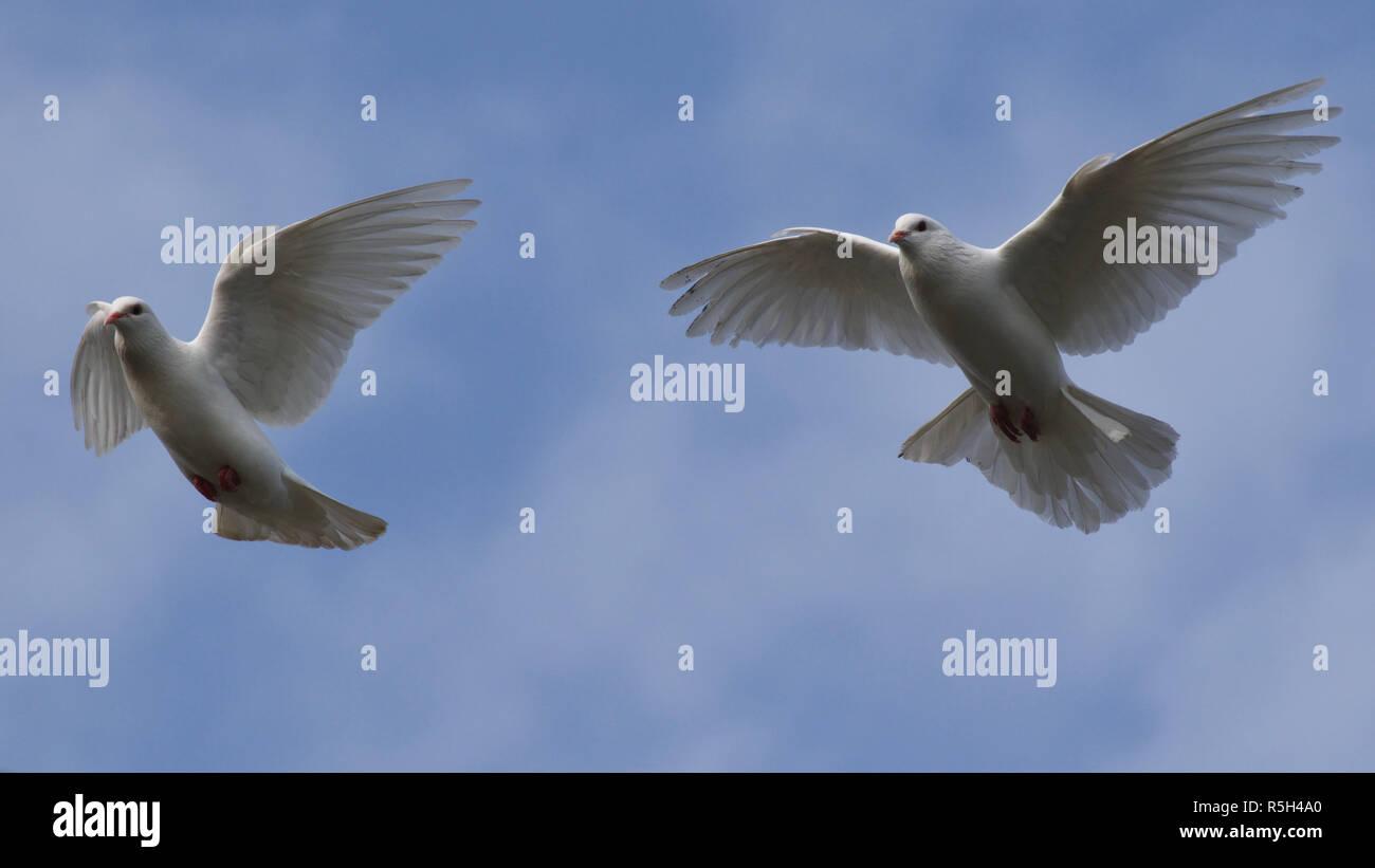 Dos Palomas Blancas Volando Contra El Cielo Azul Con Nubes Tenues