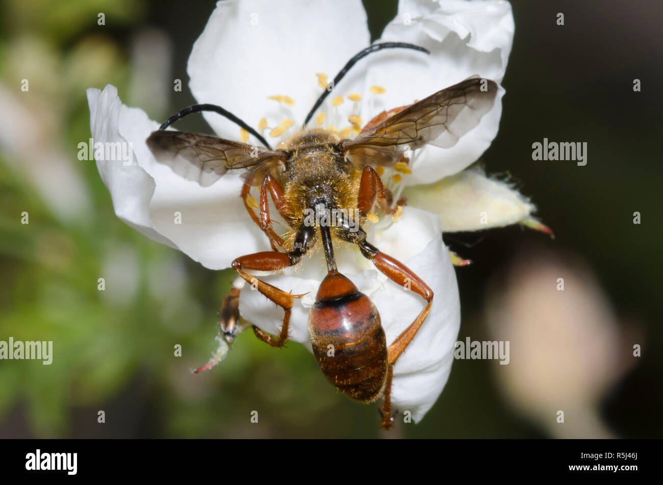 Transporte de hierba Wasp, Isodontia elegans, sobre Apache Plume Fallugia paradoxa Foto de stock
