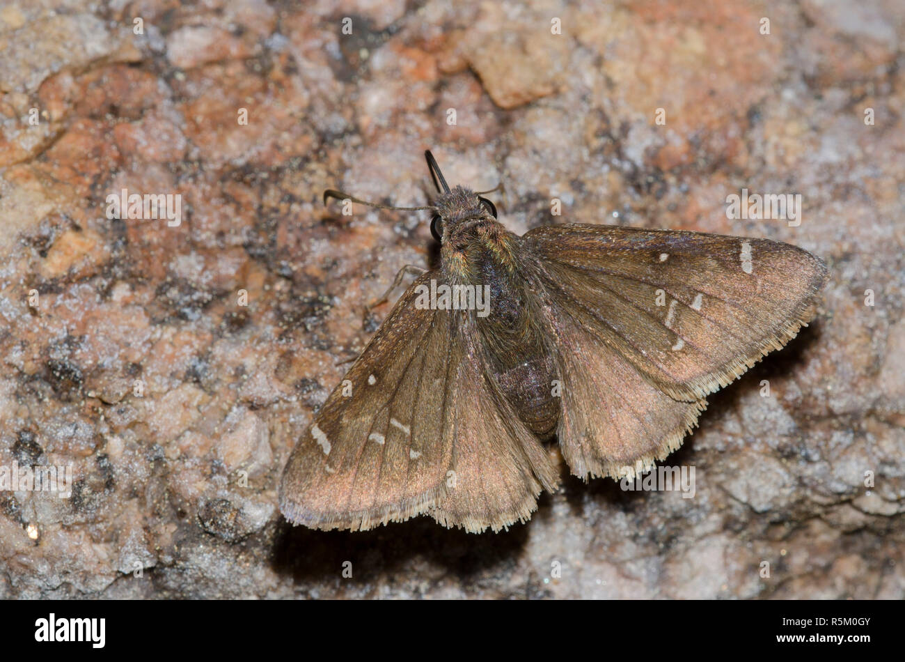 Thorybes Cloudywing mexicana, mexicana, hembra Foto de stock