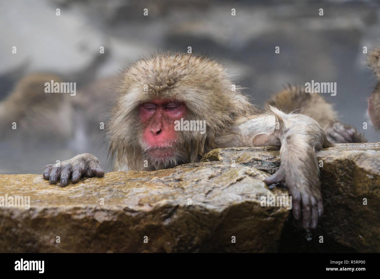 Mono De Nieve En El Parque De Monos Jigokudani Prefectura De