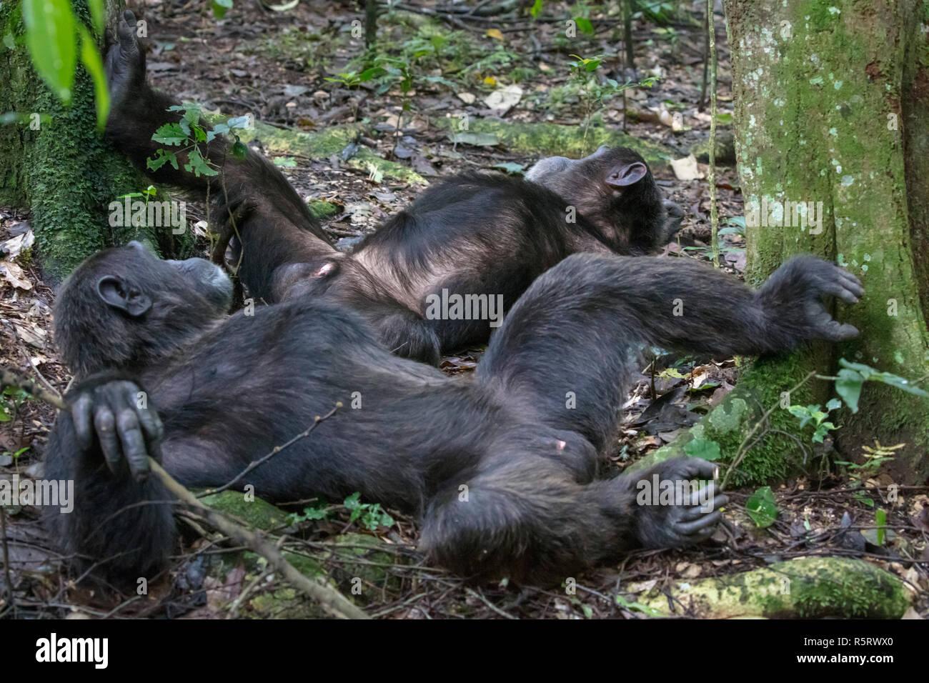 Los chimpancés en el Bosque Nacional Kibale, Uganda Imagen De Stock
