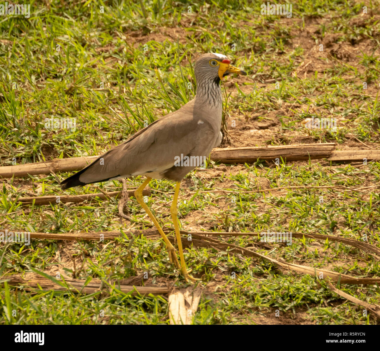 Wattled lapwing africana (Vanellus senegallus), también conocido como Senegal o chorlito wattled wattled lapwing, Canal Kazinga. Nacional Queen Elizabeth Imagen De Stock