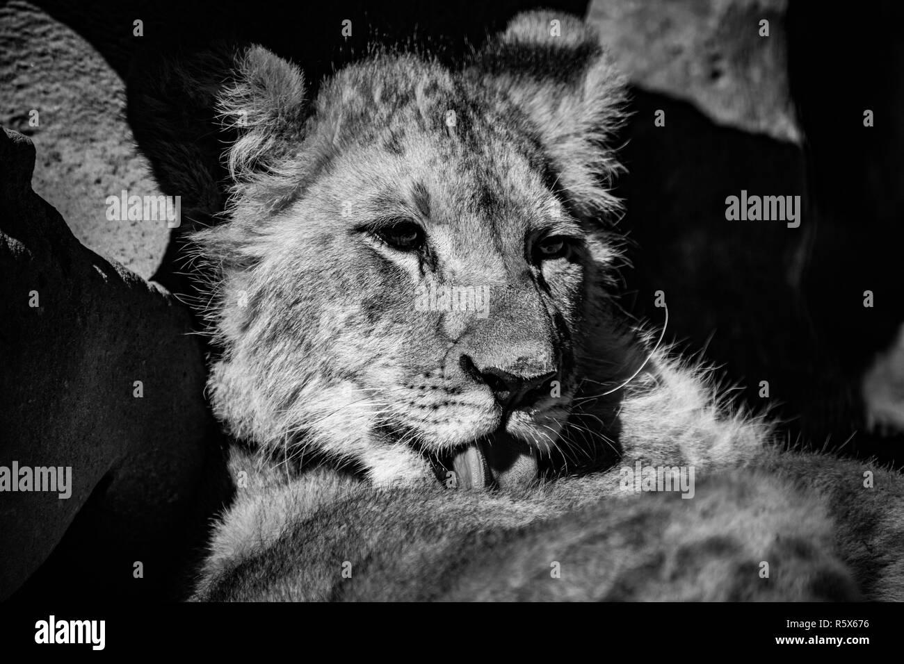 Un hermoso cachorro de león tras un lavado en blanco y negro Foto de stock
