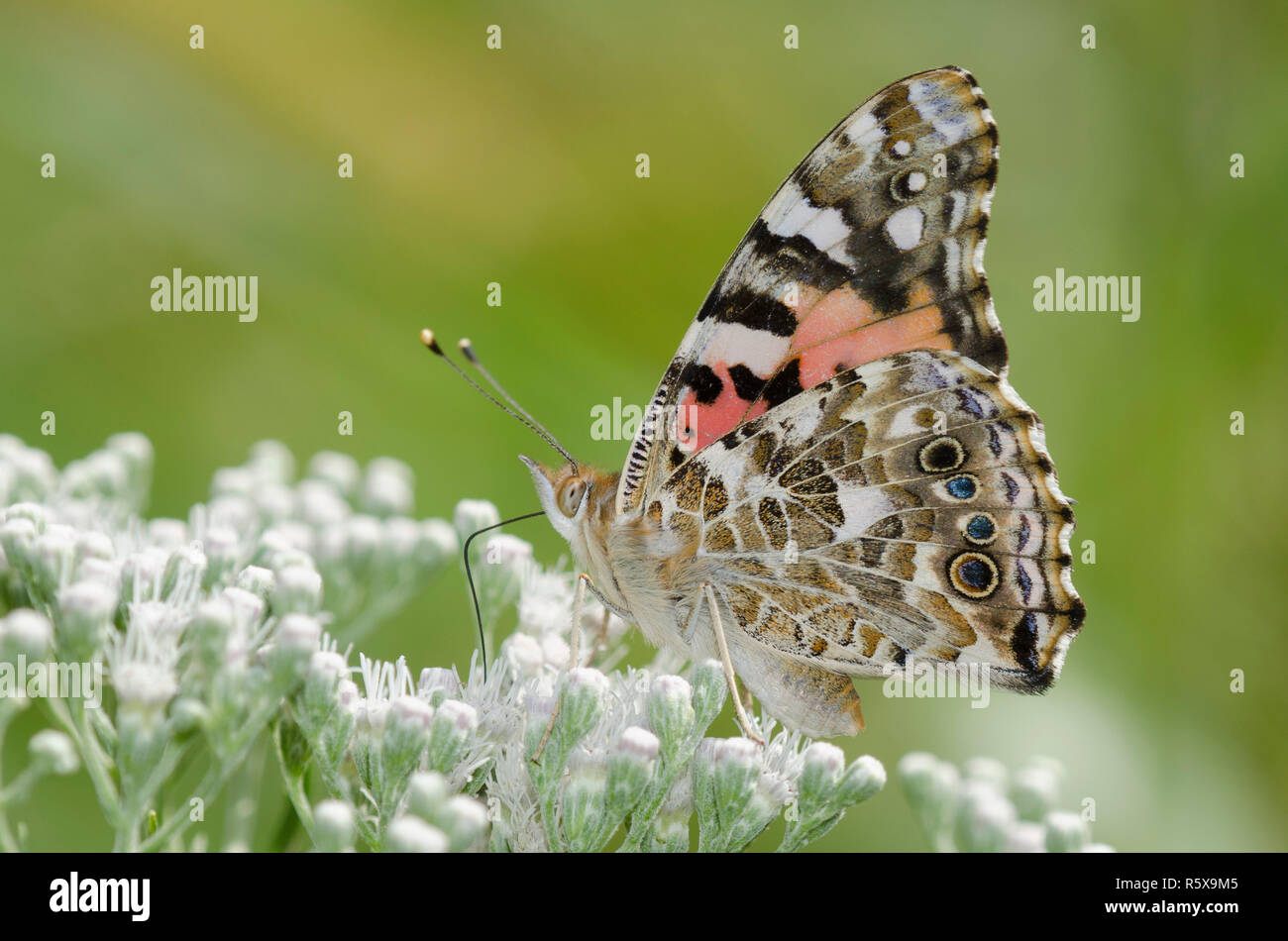 Painted Lady, Vanessa cardui, sobre Lateflowering nectaring thoroughwort, Conoclinium serotinum Foto de stock