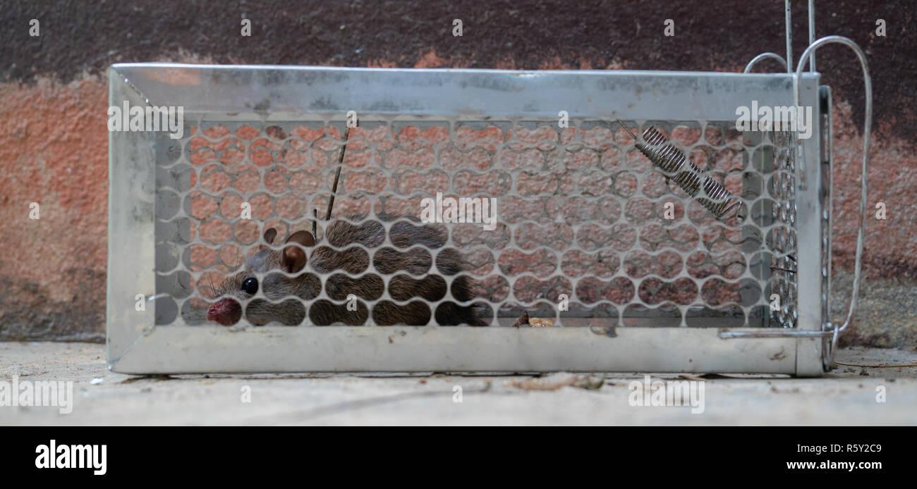 Temerosos ratones atrapados en una jaula de ratas Foto de stock