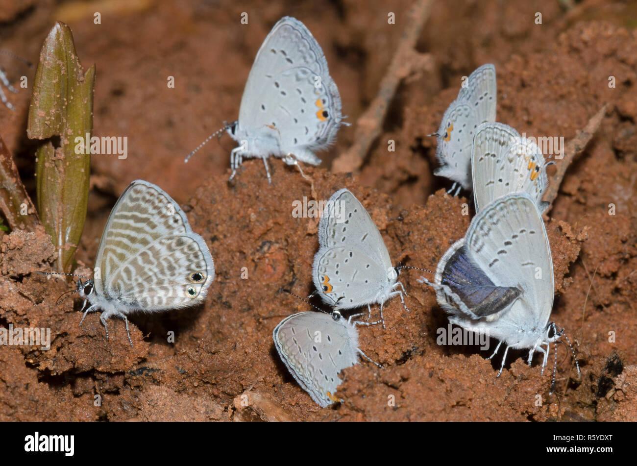 Los charcos de barro Blues, Azul Marino, Leptotes marina, y Oriental-tailed blues, Cupido comyntas Foto de stock
